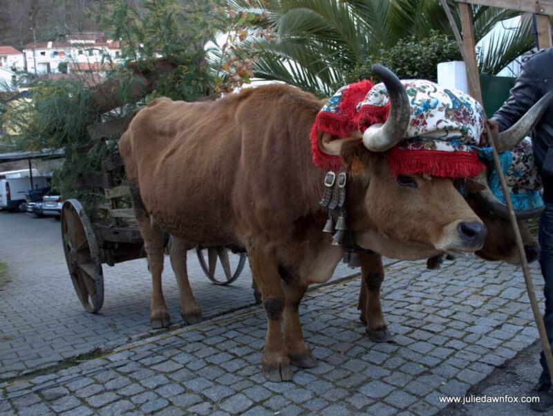 Grumpy cow, Lazarim