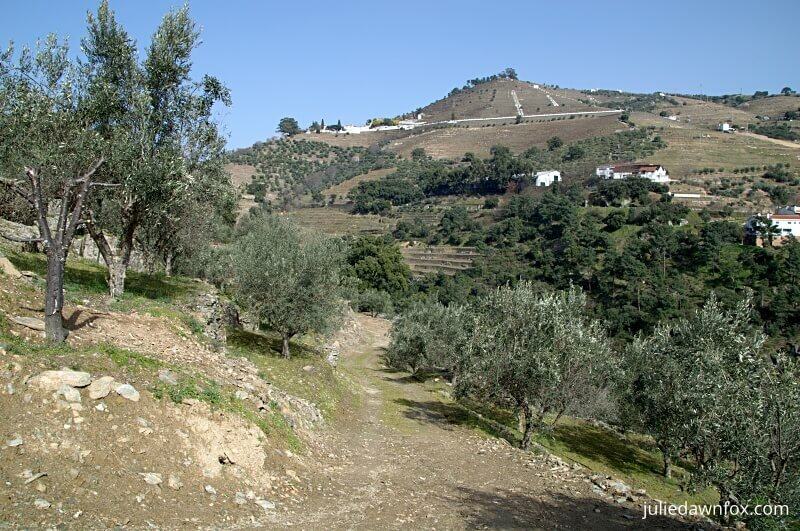 Olive grove and Quinta de Noval, Douro