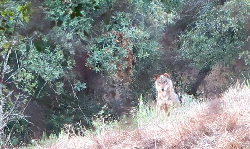 Faia, a wolf at Iberian Wolf Recovery Centre, Mafra, Portugal