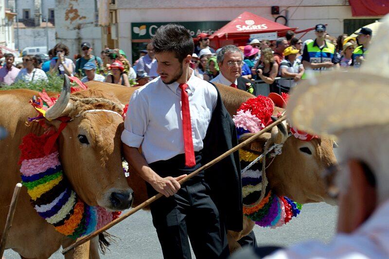 Cows, Festa dos Tabuleiros, Tomar, Portugal