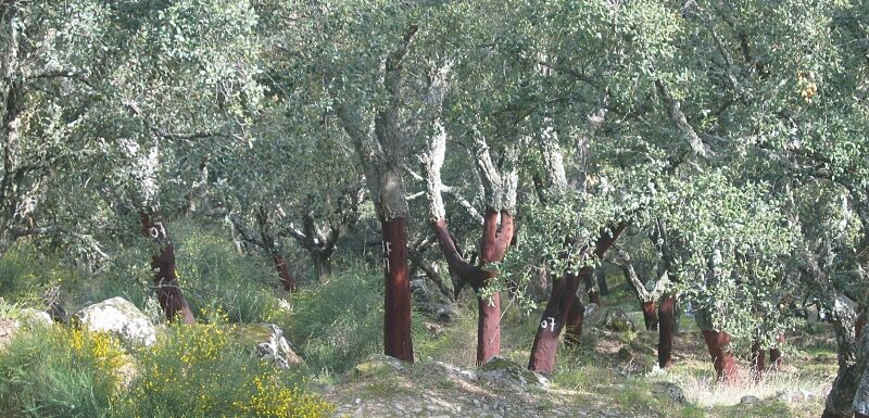 Cork oak trees with harvested bark, Marvão