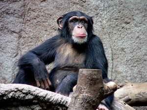 Ebola-Apes-wiki
