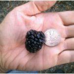 Big Berries