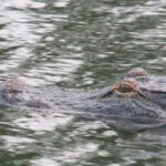 close up of alligator