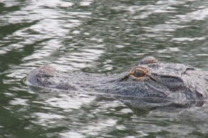 close up of alligator