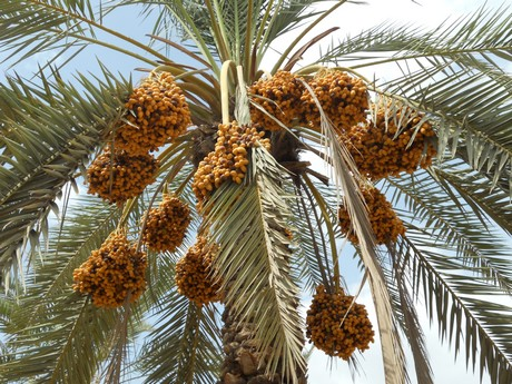 Sindh being a largest Dates Production Province of Pakistan