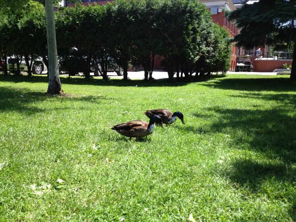 Ducks in Congress Park Saratoga Springs, NY