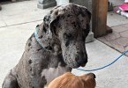 Charlie Meeting Tobey the Great Dane at Grossmans Garden and Home Dog Days of Summer