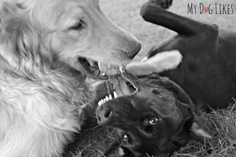 Best friends Charlie and Meera playing on their Puppy Playdate