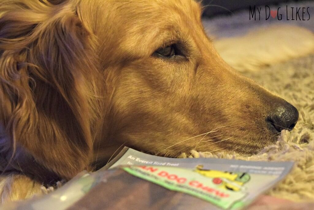 Charlie ready to be done with the photo shoot and move on to the Himalayan Dog Chew taste test!