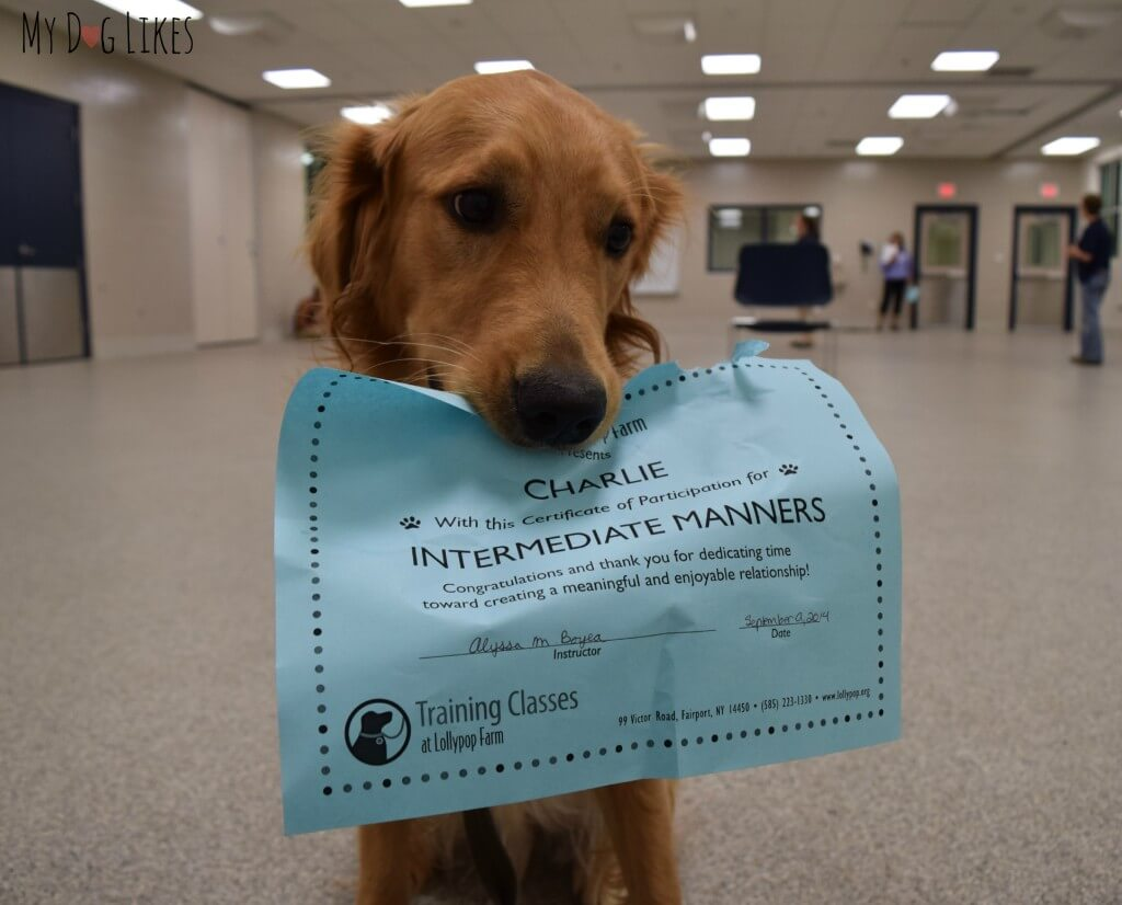 "Charlie posing with his certificate for ""Intermediat Manners"" dog training classes at Lollypop Farm in Rochester, NY"