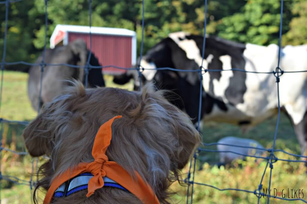 Charlie watching the cows on the farm walk at Lollypop Farm