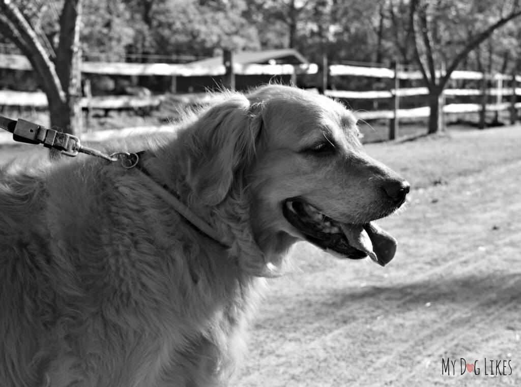 Harley on the Barktoberfest Pet Walk at Lollypop Farm