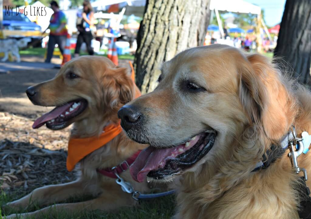 Harley and Charlie are happy boys at Lollypop Farm's Barktober Fest