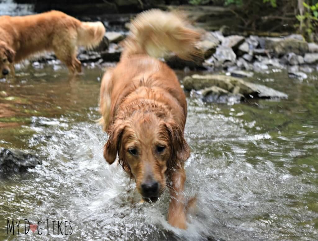 The dogs splashing around in Allen's Creek at Corbett's Glen