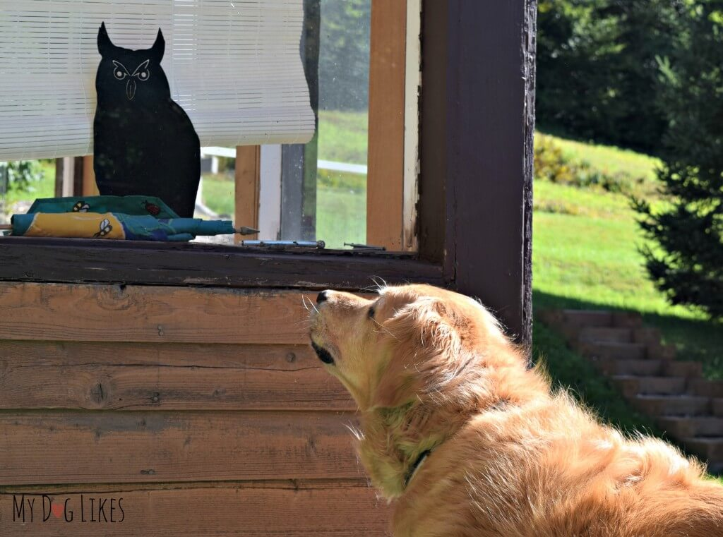 Harley defending the yard from a decorative metal owl!