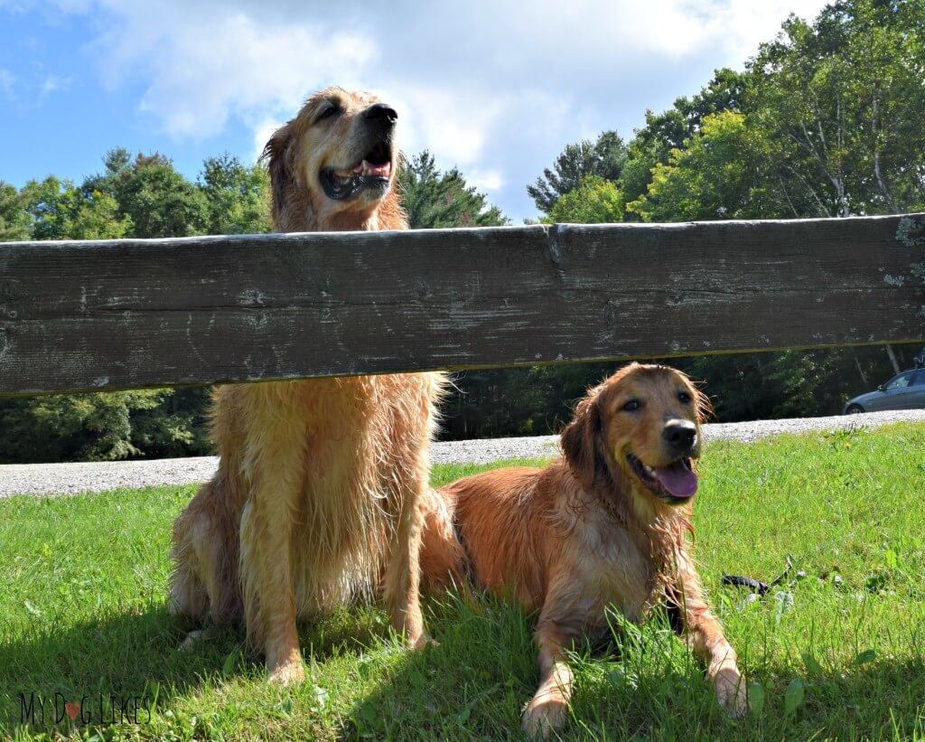 The dogs feeling refreshed after a swim in Colton Pond near Killington, Vermont