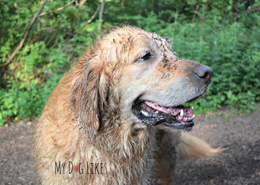 Harley is one dirty dog after a swim and roll at Corbett's Glen