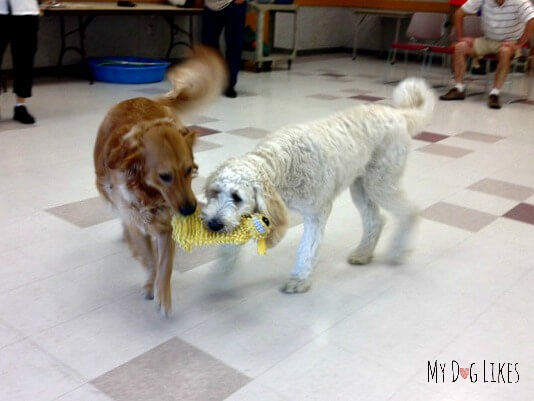 Charlie enjoying some puppy playtime during his Paws-I-Tive behavior training class at the Perinton Rec Center