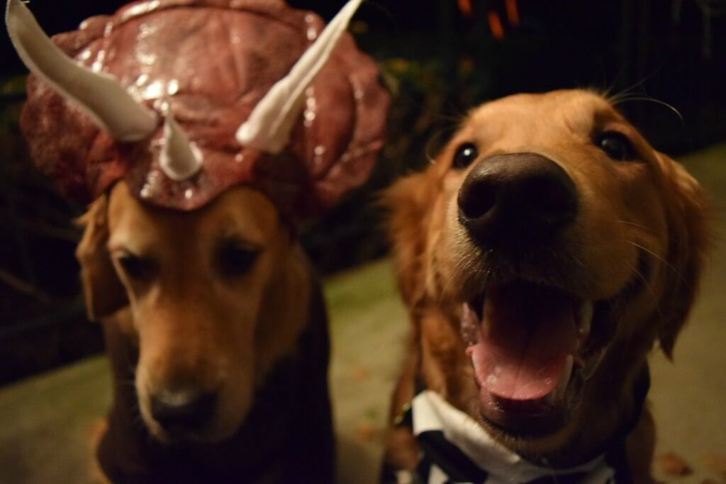 Our two Goldens in their dog Halloween costumes ready for trick or treating!