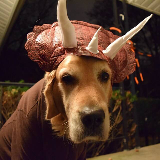Our dog Harley in his Triceratops costume for Halloween!