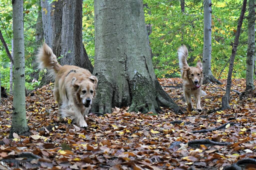 Our Golden Retrievers Harley and Charlie exploring Gosnell Big Woods Preserve