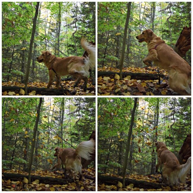 Charlie Jumping Over a log at Gosnell Big Woods Preserve