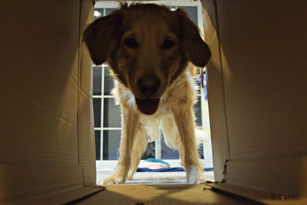 Charlie practicing with our makeshift dog agility tunnel