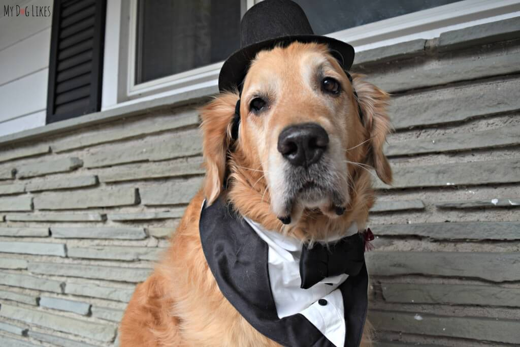 Harley sporting his fancy dog tux in preparation for a New Year's Eve Celebration!