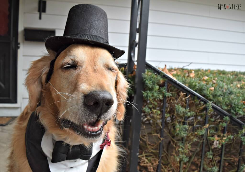 Our Golden Retriever Harley wearing hes dog tuxedo bandanna from our wedding!