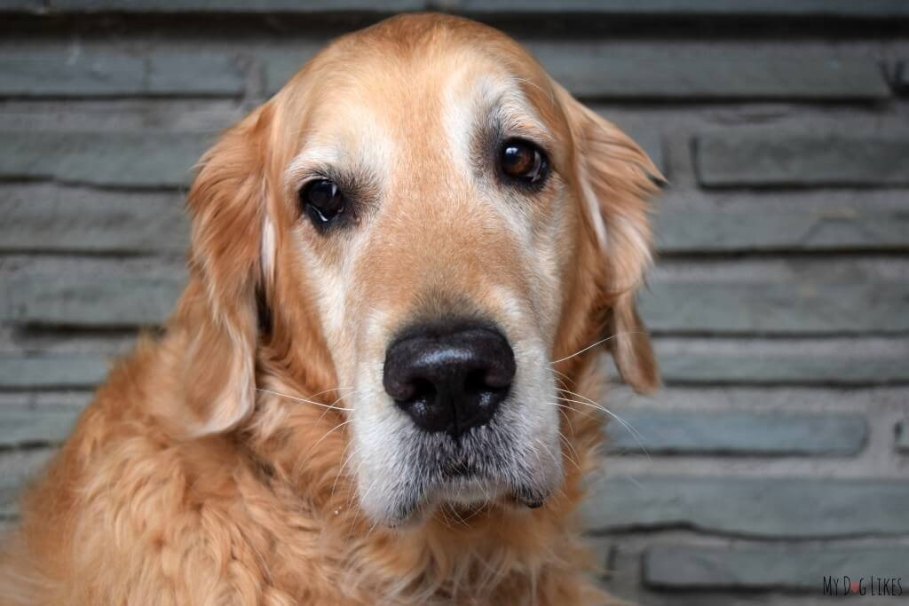 Our beautiful 8 year old Golden Retriever Harley.