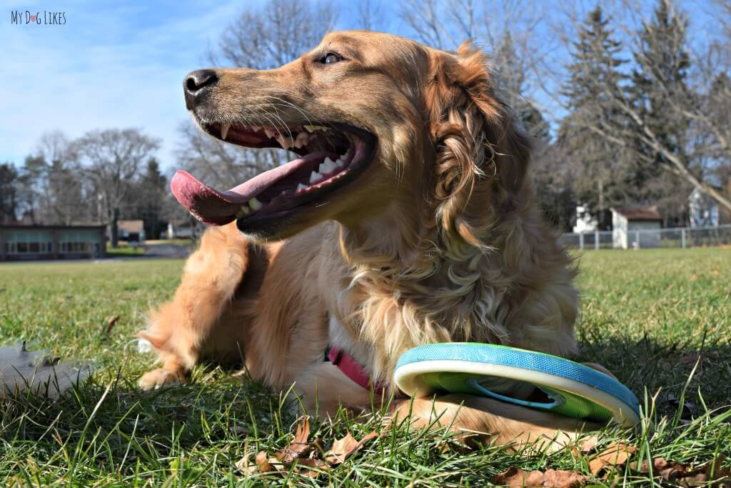 Charlie guarding his dog disc!