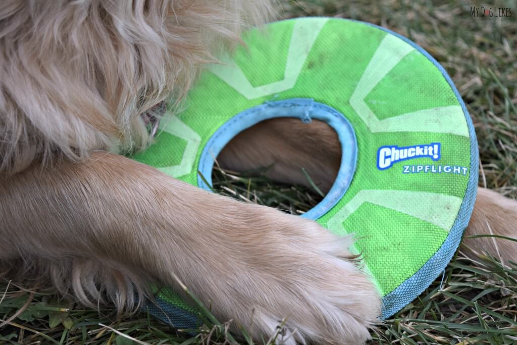 Charlie guarding his Chuckit! Zipflight dog frisbee! This is one of his absolute favorite dog toys!