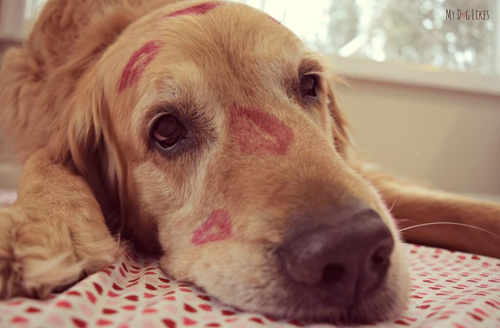 Our dog Harley covered in kisses for Valentine's Day