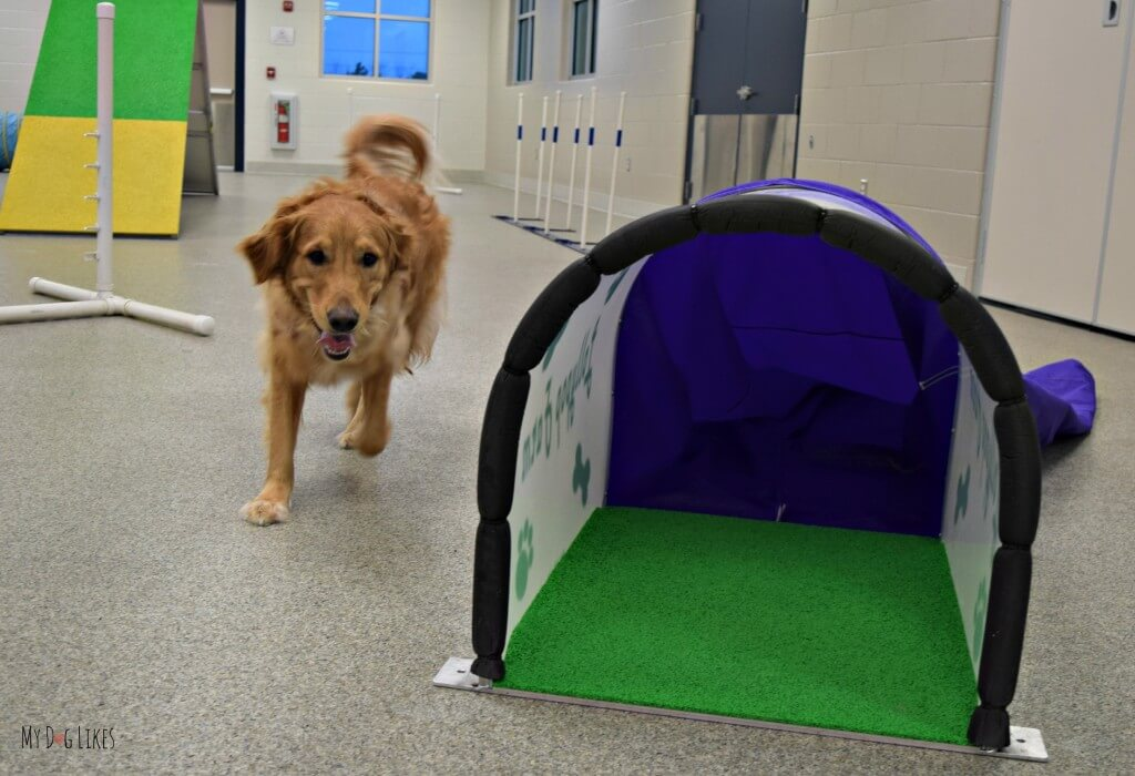 Charlie Making his way to the chute obstacle in the agility course. He must run through to push the fabric open on his way out the other side!