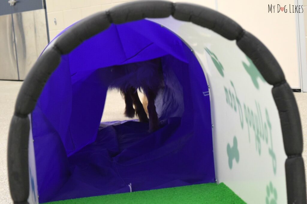 Charlie running through the Dog Agility Chute in his obstacle course! This photo was taken during a training class at Lollypop Farm.