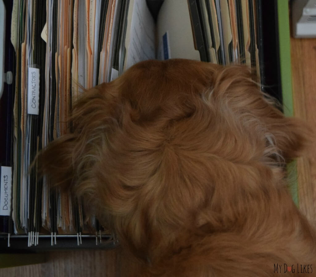 Our dog Charlie snooping through the file cabinet!