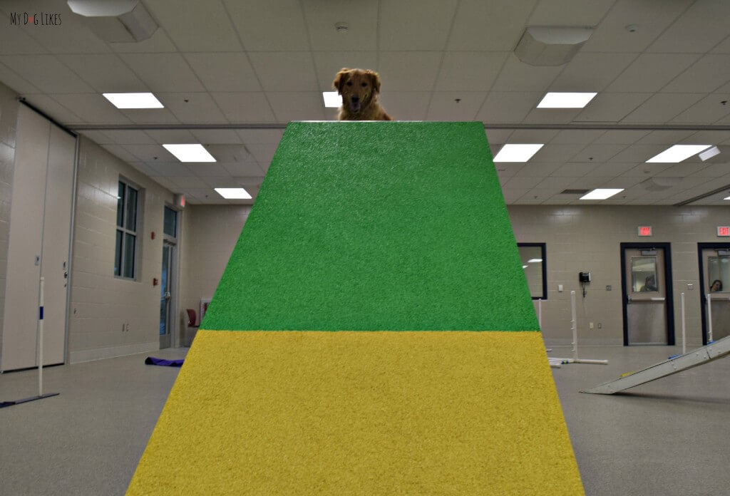 Charlie conquering the A-Frame obstacle in his agility course! He did so well in his Beginner Agility class at Lollypop Farm!