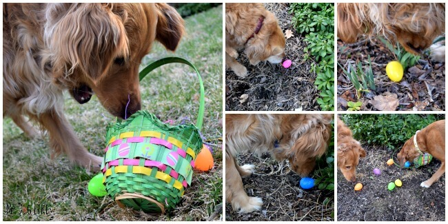 Harley, Charlie and cousin Mia are off on a fun Dog Easter Egg Hunt!
