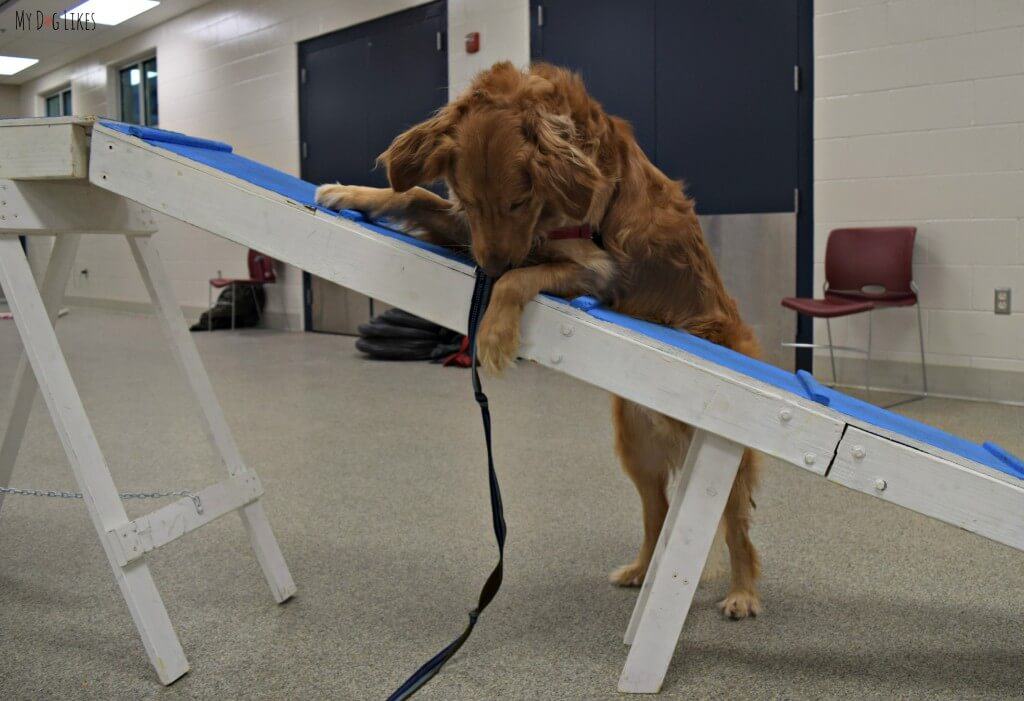 Charlie is a bit confused by the dog walk obstacle in his first agility class! Don't worry, he eventually gets the hang of it!