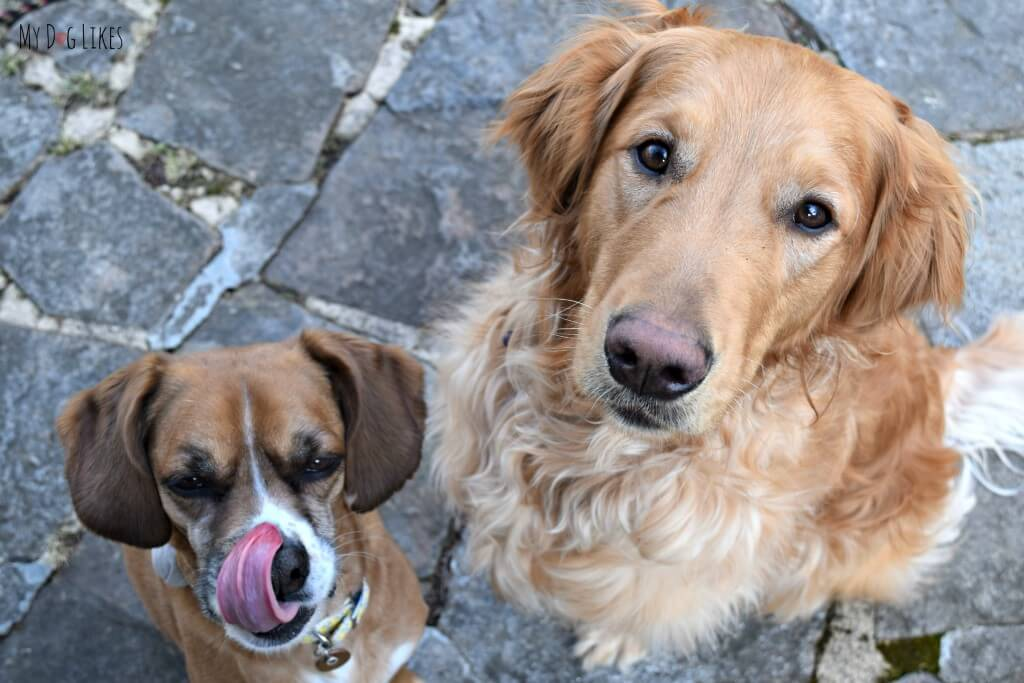 A couple of hungry dogs waiting to try out some Evangers dog treats!