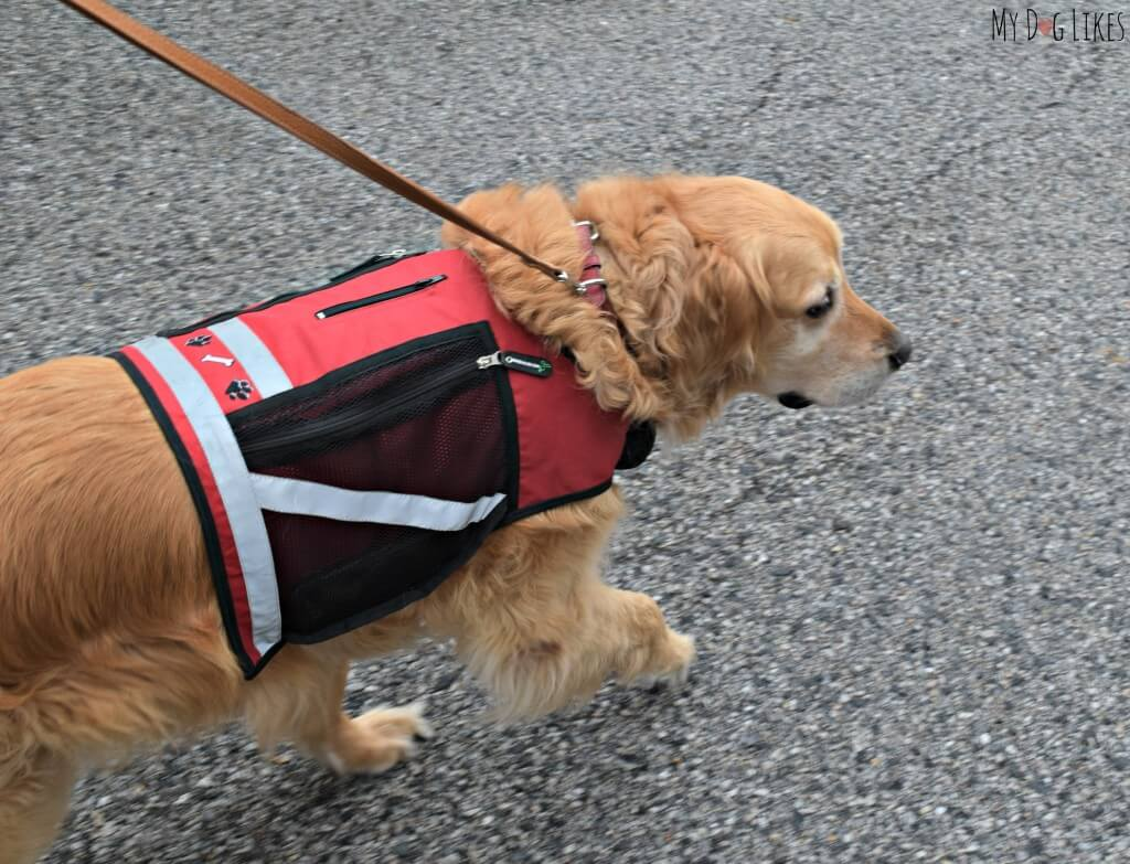 Harley from MyDogLikes testing out the PooBoss Dog Vest in our official review
