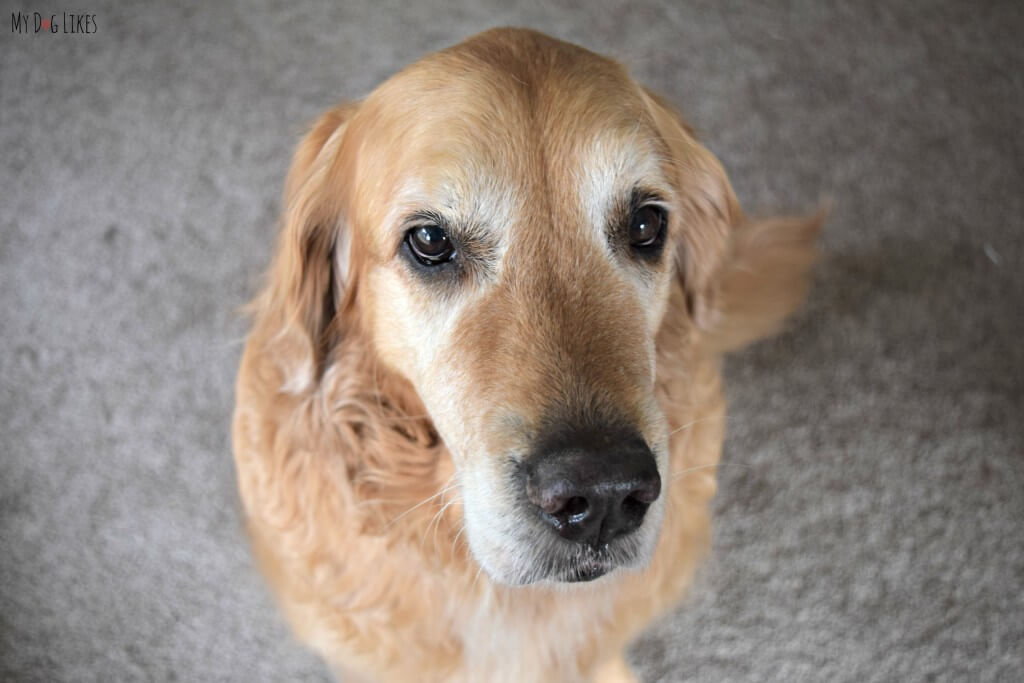Even at 9 years old, Harley hasn't lost those puppy dog eyes!