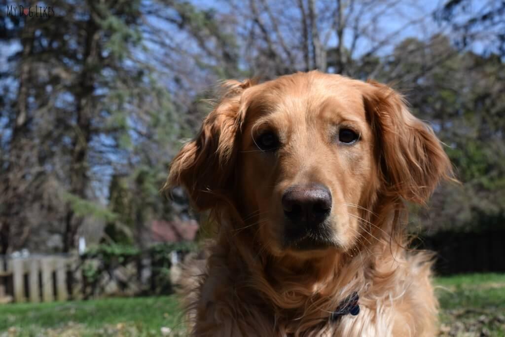 Our adorable Golden Retriever Charlie!