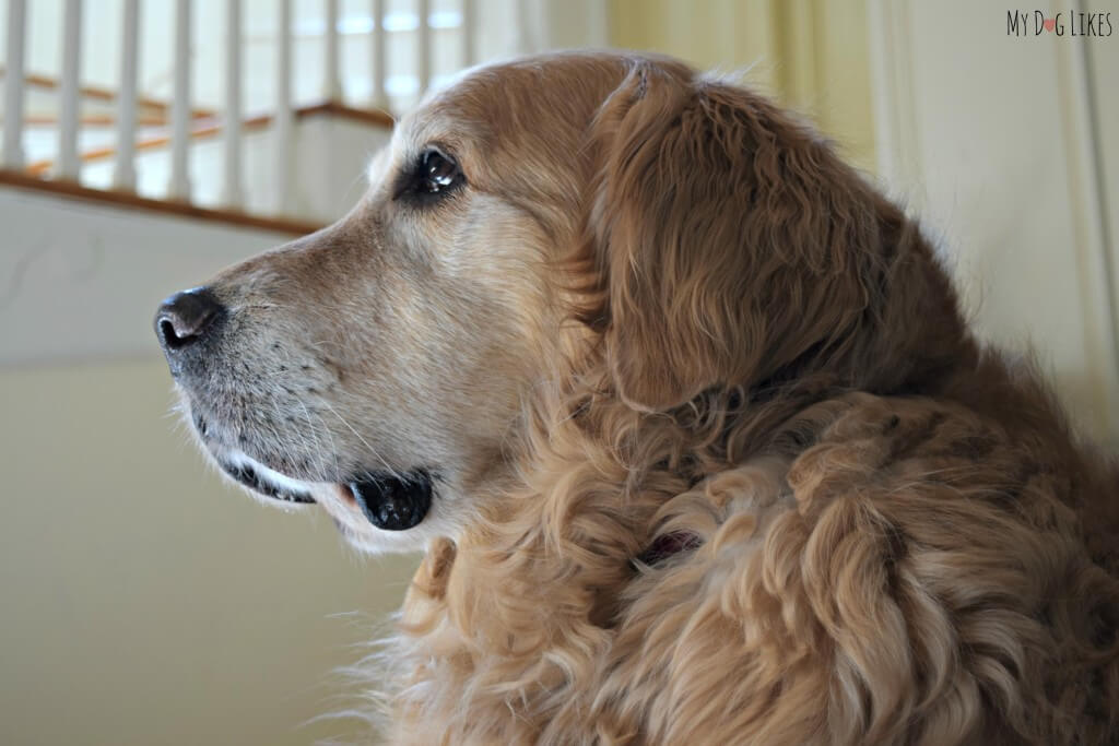 Our 9 year old Golden Retriever Harley