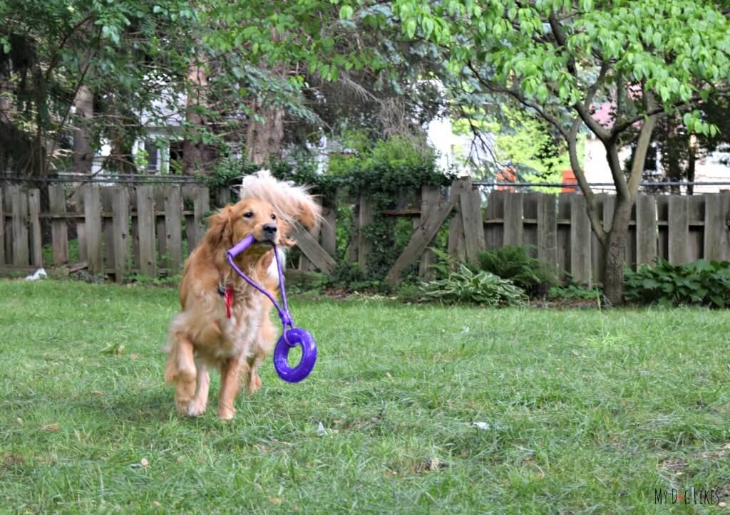 Charlie with one of our favorite new interactive dog toys - great for both tug and fetch games!