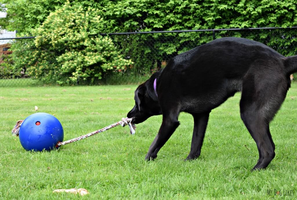 MyDogLikes recruits our lab friend Laila for the official Tuggo Dog Toy review!