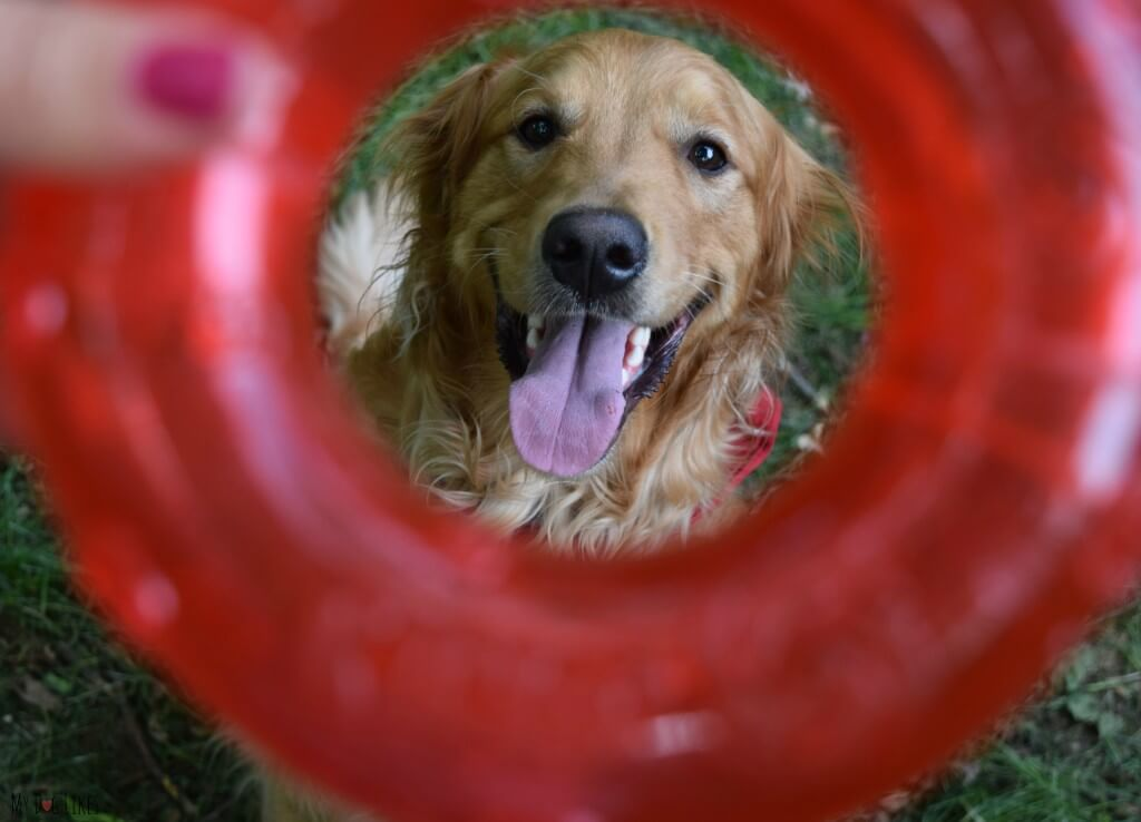 MyDogLikes reviews the KONG Ring dog toy.