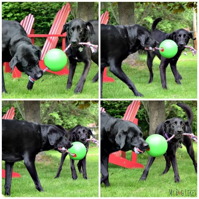 The Tuggo is great for multi-dog play. Here our friends Laila and Meera are having a fun game of tug-of-war.