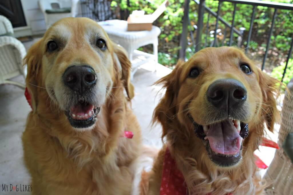 Harley and Charlie - our very happy Golden Retriever boys!